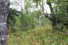 34. Березы,трава, елки, поляны.
