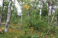 35.В березовом лесу светлее и комфортнее, чем в еловом или кустарнике.