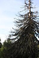 41. Дерево, которое не захотело быть моими дровами. А я не смог его в этом убедить.